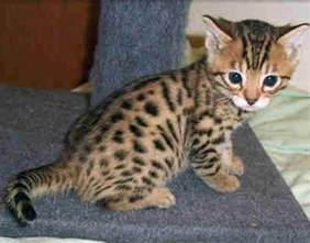 baby bengal cat baby cats pictures images photos