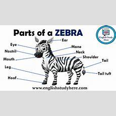 Parts Of A Zebra Vocabulary  English Study Here