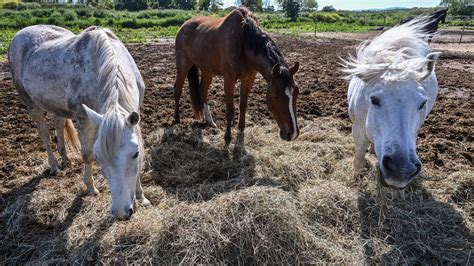 horse france french police attacks mystery rituals horses violent struggle solve hay field april witchcraft mutilations express