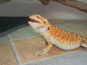 Bearded Dragon Morphs: Bearded dragon morphs