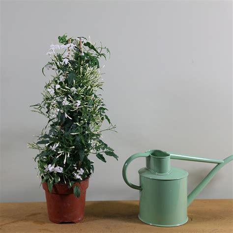 jasminum polyanthum en pot buy scented jasminum polyanthum delivery by crocus