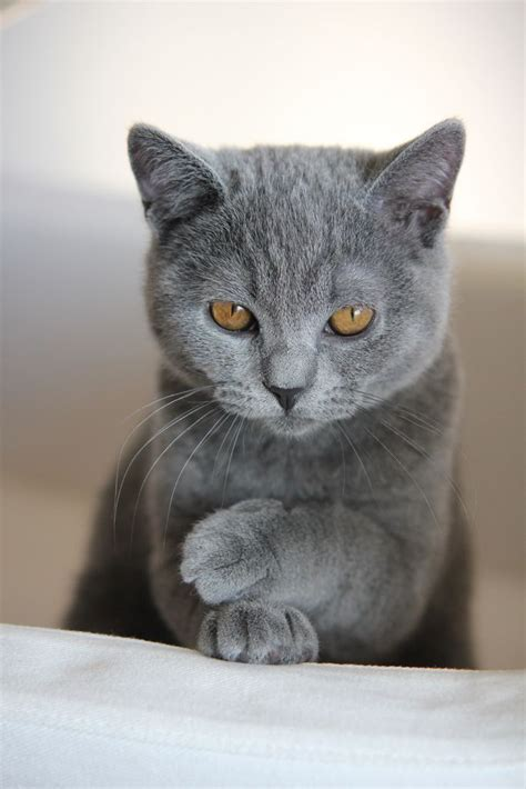 grey cats pin by kitty cat on grey cats pinterest