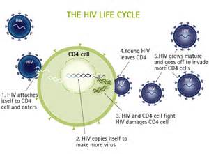 of the two major types of hiv only one hiv 1 typically causes aids in ... Immune System/AIDS
