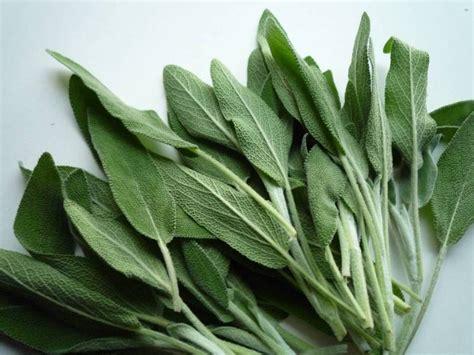 cuisiner avec la sauge bienfaits de la sauge vertu sauge comment se soigner avec de la sauge