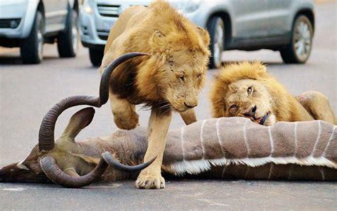 Lauvas nogalina antilopi šokēto tūristu acu priekšā - Puaro.lv