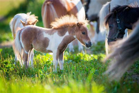 horse miniature horses breed herd pasture profile