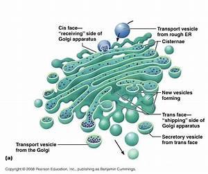 Come in tutte le cellule eucariotiche, anche in quella ve ...
