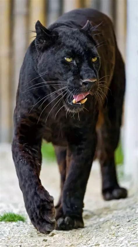 mating habits  black panthers quora