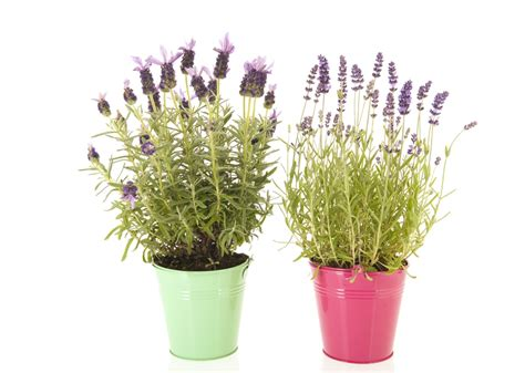 does lavender grow in florida growing lavender in florida everything you need to know about