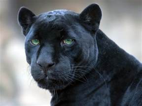 black panther cat black panther great cats of the quot world quot