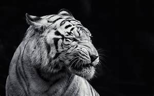 Tigre blanco Wallpaper