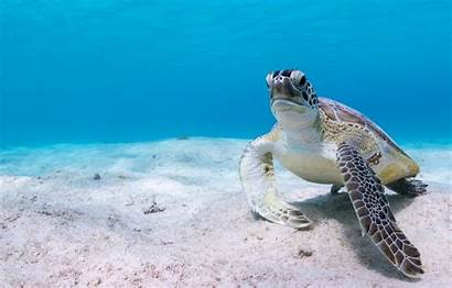 Turtle Sea Underwater 4k Background Water Desktop