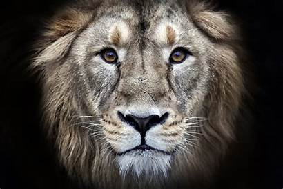 Lion 4k Portrait Wallpapers Animal Animals Ultra