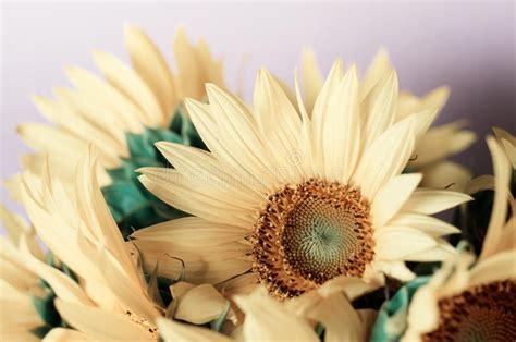 decorative sunflower greeting card stock photo image