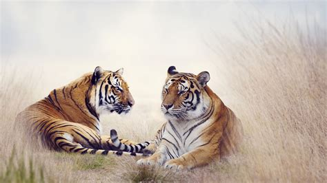wallpaper tigers big cats pair grass  animals