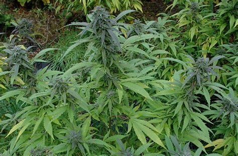 Nico's Nuggets Tips On Growing Marijuana Outdoors · High