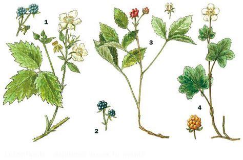 Letonika.lv. Multivide - Meža enciklopēdijas attēli. Kazenes: 1-zilganā kazene; 2-melnās cūcenes ...