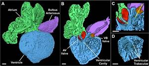 3-D Rendering of the Adult Zebrafish Heart. Example of a ...