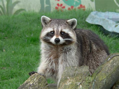 how to repel raccoons abc humane wildlife