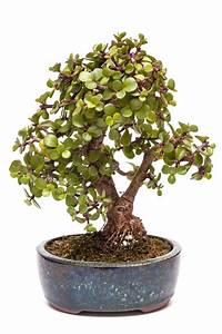 Pflege Bonsai Baum Indoor : top 10 zimmer bonsai f r einsteiger ~ Michelbontemps.com Haus und Dekorationen