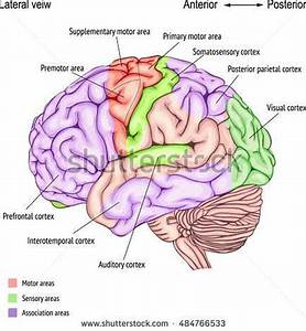 Pictures Of Cerebral Cortex