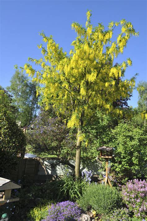 caring  laburnum trees learn   grow  laburnum goldenchain tree