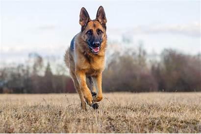 Shepherd German Desktop Wallpapers Dog Tapety Wallpapersafari
