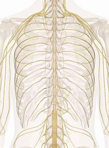 Nerves Of The Chest And Upper Back