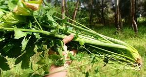 wild celery   The Forager's Year