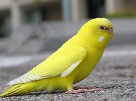 yellow parakeet 50 best images about yellow birds on pinterest love birds birds and finches