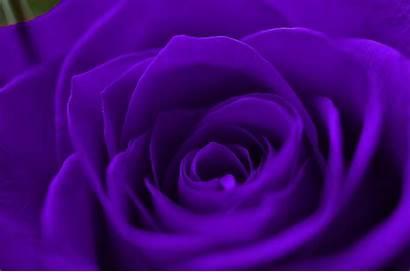 Purple Rose Wallpapers Flowers