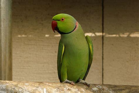 perruche à collier les animaux oiseaux perruche a collier