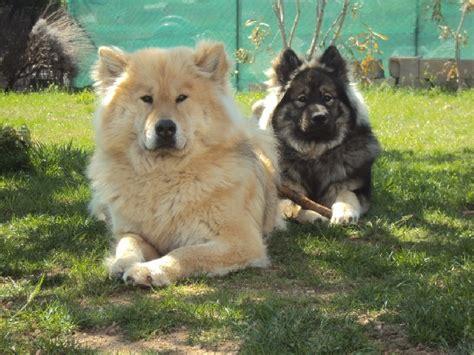 sur le canapé accueil elevage of blue silence eleveur de chiens eurasier