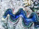 These Interesting Facts About the Giant Clam Will Make You ...