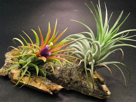 What Are Air Plants And How To Grow Your Own