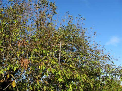 pflaumenbaum zurueckschneiden gartenbobde der gartenratgeber