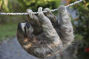 Two Toed Sloth Pet | www.imgkid.com - The Image Kid Has It!