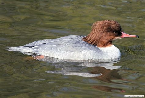 identify goosander  common merganser wildfowl photography