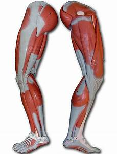 Leg Muscles Diagram And The Cure