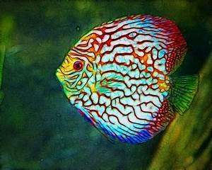 Discus, very beautiful! | #Tropical fish | Pinterest ...