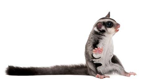 Gabbia Per Petauro - petauro dello zucchero cura alimentazione e allevamento