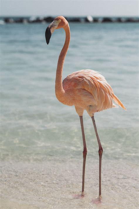 pink flamingo  body  water photo  animal
