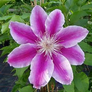 Clematis Viticella Sorten : clematis 39 dr ruppel 39 ist eine der robustesten ~ Lizthompson.info Haus und Dekorationen