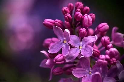 Lilac Micro Wallpapers Flower Flowers Mobile Desktop