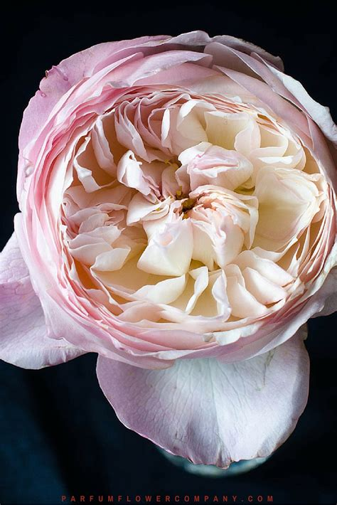 david austin wedding rose constance parfum flower company