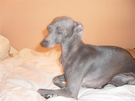 italian greyhound non shedding non shedding small dogs with children breeds