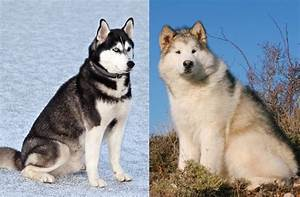 Malamute vs Husky: 7 Differences You Need To Know