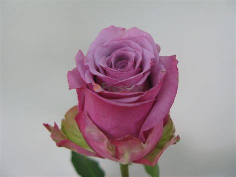 Cool Water Roses Pictures To Pin On Pinterest Pinsdaddy