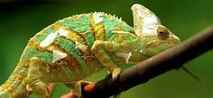 Große Reptilien Für Zuhause : brauchen cham leons uv licht ~ Lizthompson.info Haus und Dekorationen