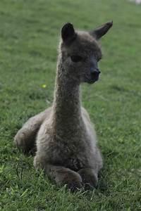 alpaca cria class of 2015 expands farm alpacas